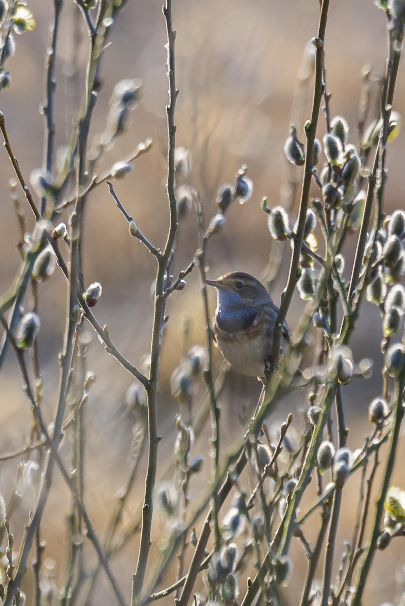 Blåhals, Sydlig Blåhals, Luscinia svecica, Vejlerne, Fugle, Natur,